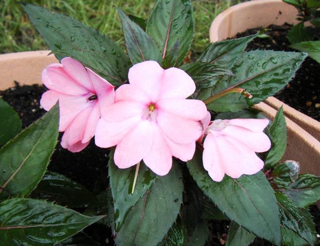サンパチェンス ピンクの花 6.20.jpg